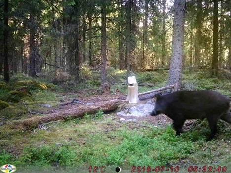 Tero Ratalan riistakameran ottamasta kuvasta näkee villisian liikuskelemassa Korpi-Matin maisemissa.