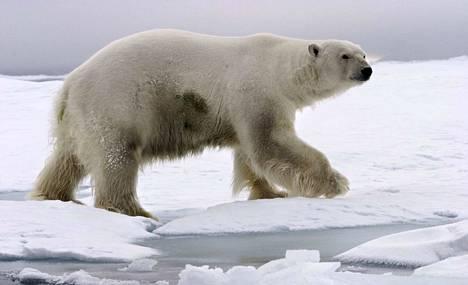 Jääkarhu on erittäin uhanalainen laji. Huippuvuorten lisäksi niitä elää Venäjän ja Kanadan pohjoisosissa, Alaskassa, Grönlannissa ja Pohjois-Siperiassa.