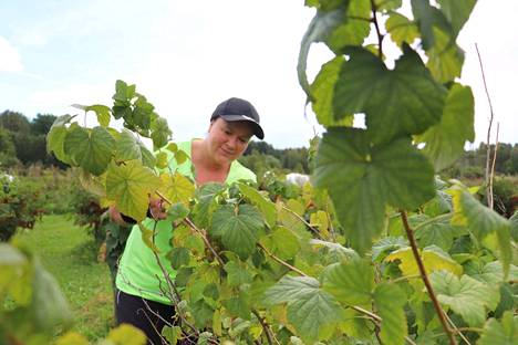 Heidi Berglund-Järvinen on poiminut marjoja tilalta useampana kesänä. Nyt hän poimi viher- ja valkoherukoita.