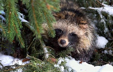 Supikoiran kanta vaihtelee vuosittain sääoloista, metsästyspaineesta ja myyräkannan tiheydestä.