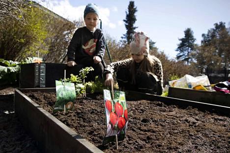Laatikkopuutarhan hoitaminen on hauska harrastus koko perheelle. Aatos Järvelä ja Aasa Järvelä pääsivät heti kastelemaan puutarhaneuvoja Heidi Ovaskan neuvoilla perustetun laatikkoviljelmän.