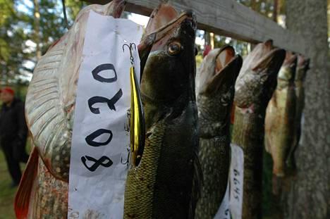 Lauantaina selviää, kuka saa suurimmat vonkaleet. Tänä vuonna Tappajahauki-uistelu pidetään jo elokuussa.