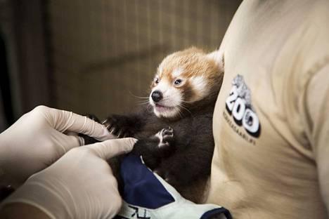 Pentu oli eläinlääkärissä hiljattain. Kyseessä on urospoikanen, ja se painaa jo yli 800 grammaa.