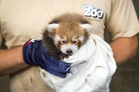 Parin kuukauden vanha poikanen on pandaparin ensimmäinen.
