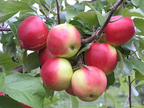 Omenapuista on paljon hyötyä ja iloa pihapiirissä, mutta satoisina vuosina ne tuottavat myös paljon jätettä, joka on kuitenkin hyödynnettävissä.