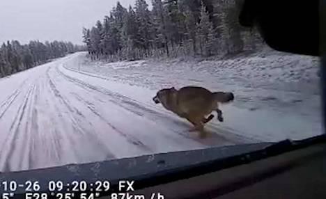 Susi tuli kovaa vauhtia metsästä suoraan auton keulaan päin. Videolta näkyy, että auton nopeus oli noin 90 kilometriä tunnissa.