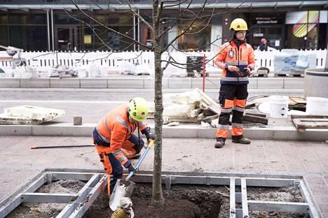 Uudet puistolehmukset on kasvatettu kaupungin taimistoilla ja taimien pituus on 4–5 metriä. Istuttaminen alkoi maanantaina.