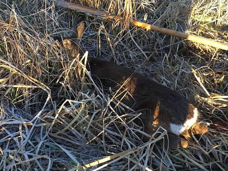 Tämänvuotinen vasa jäi voipuneena ja kylmissään makaamaan heinikkoon pelastusoperaation jälkeen.