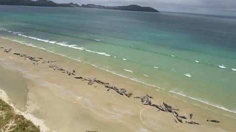 145 pallopäävalasta ajautui Uudessa-Seelannissa rannalle. Viranomaiset tekivät sydäntäsärkevän päätöksen ja lopettivat elossa olevat eläimet.