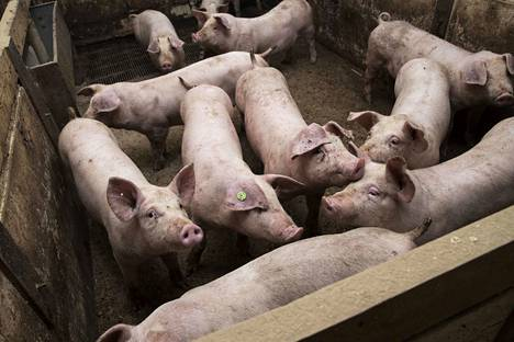 Sianlihan tuotanto on laskenut Suomessa, kun niin moni sikatila on lopettanut kannattavuusongelmien vuoksi.