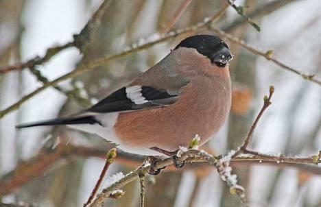 Monien lintujemme tavoin punatulkunkin naaraalta puuttuvat voimakkaat värit. Hautovan naaraan on hyvä olla mahdollisimman huomaamaton, etteivät pedot keksi pesää.
