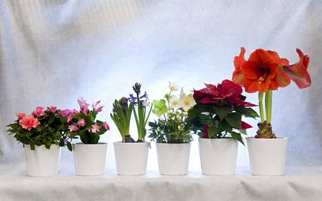 Pakkaskeleillä kukkien hyvä paketointi pelastaa kukan kotiin asti. Kuvassa vasemmalta atsalea, marraskuunkaktus, hyasintti, jouluruusu, joulutähti ja ritarinkukka. Joulukukista on iloa myös joulun jälkeen.
