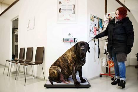 Esittelimme vuoden 2018 alussa Ylöjärvellä asuvan mastiffin Wilin. Se saattoi olla kuvaushetkellä Suomen painavin koira. Omistaja Sini Havasalo esitteli 119 kiloa painavan koiran, joka syö kolme litraa kuivaruokaa ja noin kilon lihaa päivässä.