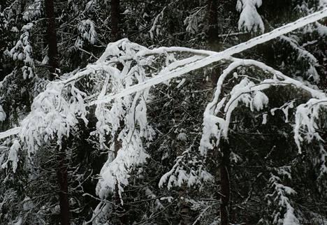 Sähköjohdoille taipuneiden puiden kanssa tulee olla hyvin varovainen.