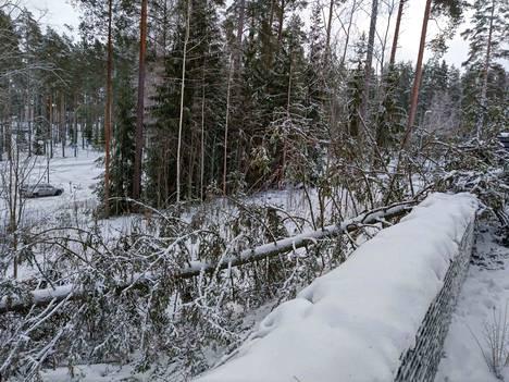 Kaatunut puu oli parikymmenmetrinen.