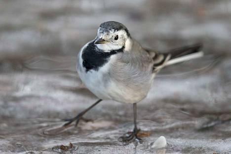 Västäräkkien pitäisi olla jo kaukana Suomesta. Arkistokuva linnusta.