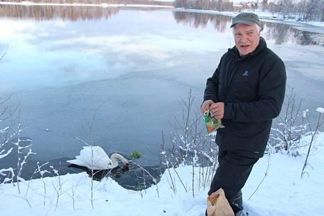 Lintuharrastaja Hannu Järvinen ruokkii nälkiintynyttä joutsenta Hartolankoskella Sastamalassa.