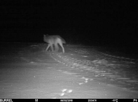 Vuoden 2018 alkupuolella susia tallentui riistakamerakuviin Köyliössä.
