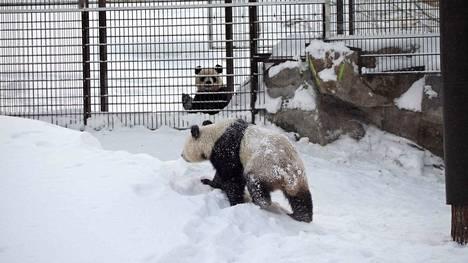 Pandakaksikko Lumi ja Pyry pääsi telmimään lumessa vuosi sitten Ähtäriin saavuttuaan. Yleisölle pandat näyttäytyivät ensimmäisen kerran helmikuun 17. päivä.