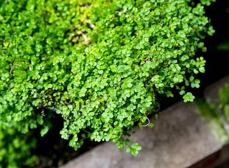 Kodinonni on monelle tuttu viherkasvi, jota kannattaa sumuttaa ahkerasti.