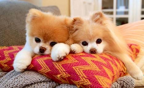 Boo (vas.) ja Buddy ehtivät olla yhdessä 11 vuotta.