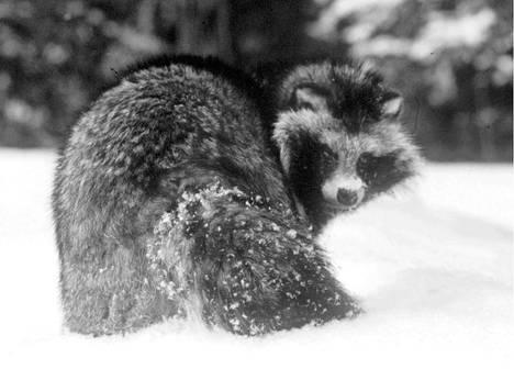 Voimassa olevan lainsäädännön mukaan rauhoittamattomia eläimiä saisi tappaa esimerkiksi myrkyllä ja sähköllä. SEY vaatii, että eläimille paljon kärsimystä aiheuttavien keinojen käyttö kielletään yksiselitteisesti jo lakitasolla. Arkistokuva supikoirasta.