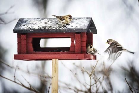 Lintulaudoilla käy tällä hetkellä kova kuhina.
