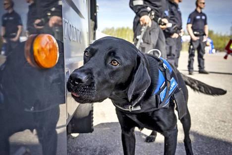 Tullilla on käytössään nuuskan löytämiseen erikoistuneita koiria. Tässä yksi koirista kuvattuna 19. toukokuuta 2017.