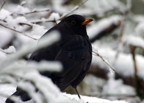 Mustarastas jurottaa lumisen pensaan kätkössä tuntikausia, käyden vain hätäisesti ruokailemassa ruokintapaikan antimista.