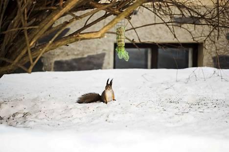 Tiistai Tampereella oli aurinkoinen, lähes keväinen sää. Orava eli elämäänsä Onkiemenkadulla sijaitsevan talon lintujen ruokintapaikalla ja sen lähistöllä. Perjantai on vieläkin lämpimämpi.