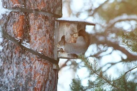 Piirroselokuvien oravista annetaan söpö kuva. Todellisuus on arkisempi. Orava käyttää ruoakseen muun muassa linnunmunia ja -poikasia.