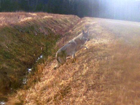 Kuvan susi tallentui Juha Levosen riistakameraan Selkänevalla viime syksynä.