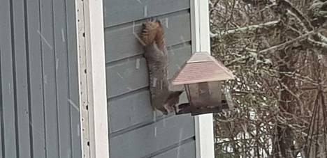 Vähän huonoon paikkaan oli tämä lintulauta ripustettu, mutta se ei kekseliästä oravaa haitannut.