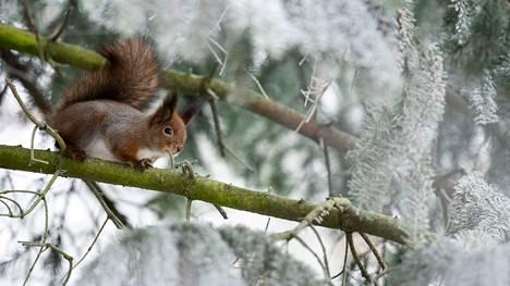 Oravilla riittää puuhaa päiväsaikaan. Ne tuovat säpinää myös lintujen talviruokainnalle.