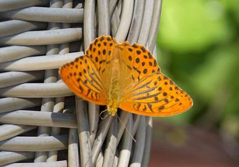 Suomessa elää tuhansia perhoslajeja, mutta tunnistatko yleisimpiä niistä? Kokeile testiämme.