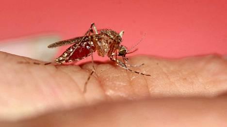 Hyönteistutkija Reima Leinosen mukaan hyttynen löytää ihmisen ensin uloshengitysilman hiilidioksidin avulla, mutta suunnistamisessa sitä auttavat myös ihmisestä lähtevät hajut ja ihon lämpö. Vain naaraat imevät verta, mutta ne voivat lisääntyä myös ilman veriateriaa. Veren proteiini tekee hyttysnaaraan lisääntymisestä runsaampaa ja laadukkaampaa.