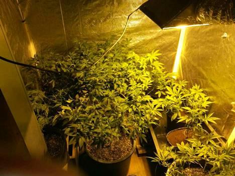 Kannabista kasvatettiin kahdessa piharakennukseen pystytetyssä teltassa.