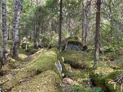 Vanhaa ja lahopuustoista metsää Lapinvuoren laen tuntumassa. Lapinvuoren rinteiltä löytyy muinaisia rantatörmiä ja kivikoita.