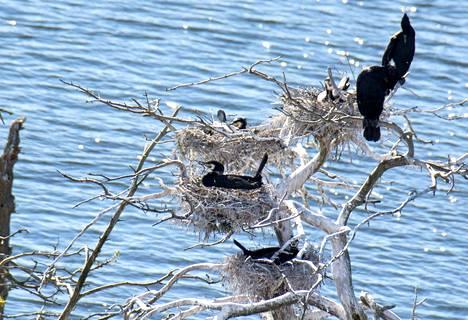 Merimetsoyhdyskunta hautomapuuhissa toukokuussa. Isoksi linnuksi merimetso rakentaa taitavasti muutaman oksan varaan pienen pesän.  Mutta  oksien katkominen ja ylenmääräinen emäksinen ulostelannoitus tappaa lopulta puut, pensaat ja varpukasvillisuudenkin.