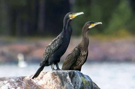 Merimetso on helposti tunnistettava suurikokoinen pelikaanilintu, joita tavallisimmin nähdään istuskelemassa vesikivillä kuivatellen  höyheniään kalastuksen jälkeen. Aikuiset linnut ovat kokomustia, nuoret linnut tummanruskeita. Merimetsoja tavataan Pirkanmaalla nykyään läpi vuoden, mutta eniten syksyllä muuttoaikana.