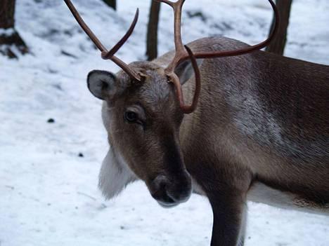 Porot toivat kaikille mieleen joulupukin Petterin.