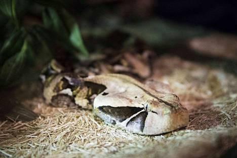 Länsi-Afrikan Gabonin kyyllä on veltto nahka. Kun se suuttuu, se vetää palkeet täyteen ja pullistuu isoksi. Jokaiseen näyttelyyn Eroset ottavat mukaan vastamyrkyt  siltä varalta, että jokin käärmeistä puree.