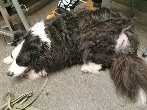 Kaapo-koira joutui eläinlääkärin pakeille, missä se nukutettiin ja haava ommeltiin.