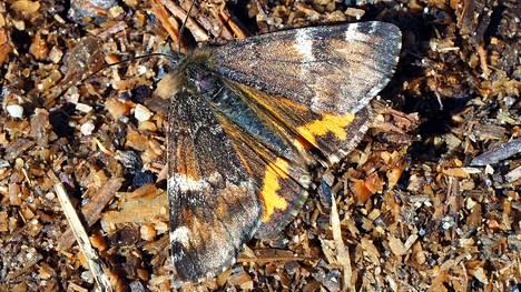 Koivutyttöperhosella on täydellinen naamiaisasu kevätkarkeloihin.
