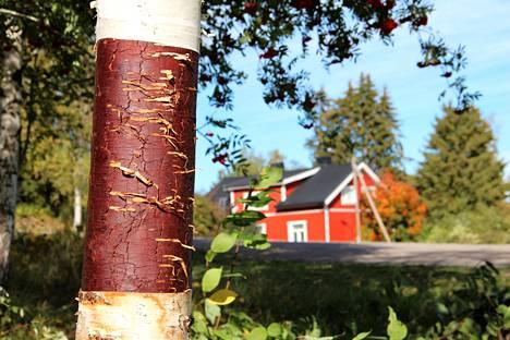 Koivut ovat kovilla Kokemäen Tulkkilan liikuntapuiston laavun ympäristössä. Niistä on kiskottu tuohta nuotion sytykkeeksi.