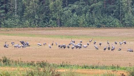 Muuttoa odotteleva kurkiparvi lepäämässä ja etsimässä ravintoa pellolla Ruovedellä elokuun loppupuolella.