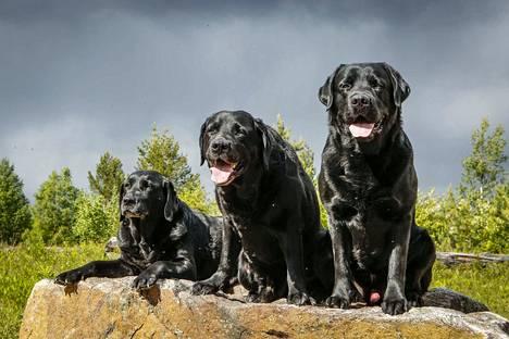 Labbis on Suomen suosituin koirarotu.
