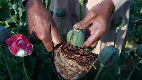 Kuva on otettu, kun afganistanilainen maanviljelijä keräsi oopiumsatoa vuonna 2017. Taleban-hallinnon aikana oopiumin hinta on enemmän kuin kolminkertaistunut.