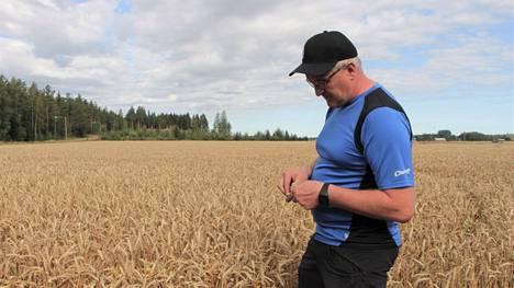 Säät vaikuttavat siihen, mitä kannattaa viljellä. Marko Rautava uskoo, että viime syksynä kylvetty vilja tuottaa hyvän sadon kuumasta ja kuivasta kesästä huolimatta.