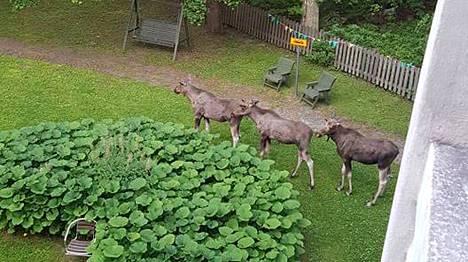 Kolme hirvenvasaa vietti aamun varhaistunnit Koukkuniemen vanhainkodin pihalla.